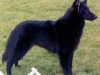 Belgian Sheepdog Coat