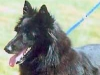 Belgian Sheepdog Coat Color