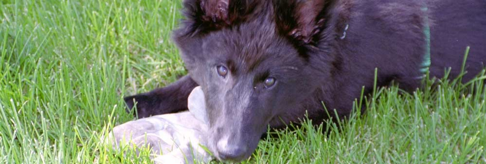 Belgian Sheepdog of America