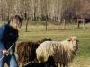 Belgian Sheepdog Club of America