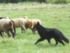 Belgian Sheepdog Club of America