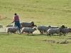 herding_2012_0275