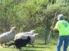 herding_2012_0379