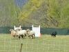 herding_2012_0461