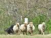 herding_2012_0497