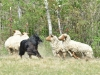herding_2012_0505