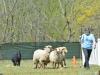 herding_2012_0529
