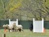 herding_2012_0564