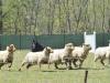 herding_2012_0580