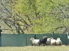 herding_2012_0672