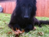 Belgian Sheepdog Club of America - Puppies