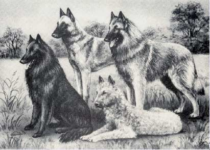Belgian Sheepdog Drawing