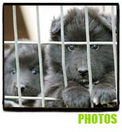 Belgian Sheepdog Photos