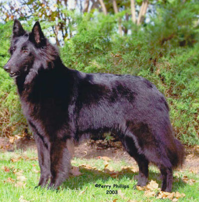 Forequarters on the Belgian Sheepdog